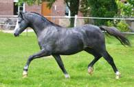 De l'Aurore Whisper in the Wind as a yearling - 2015