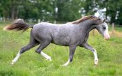 Heniarth Tintagel as a yearling 2014